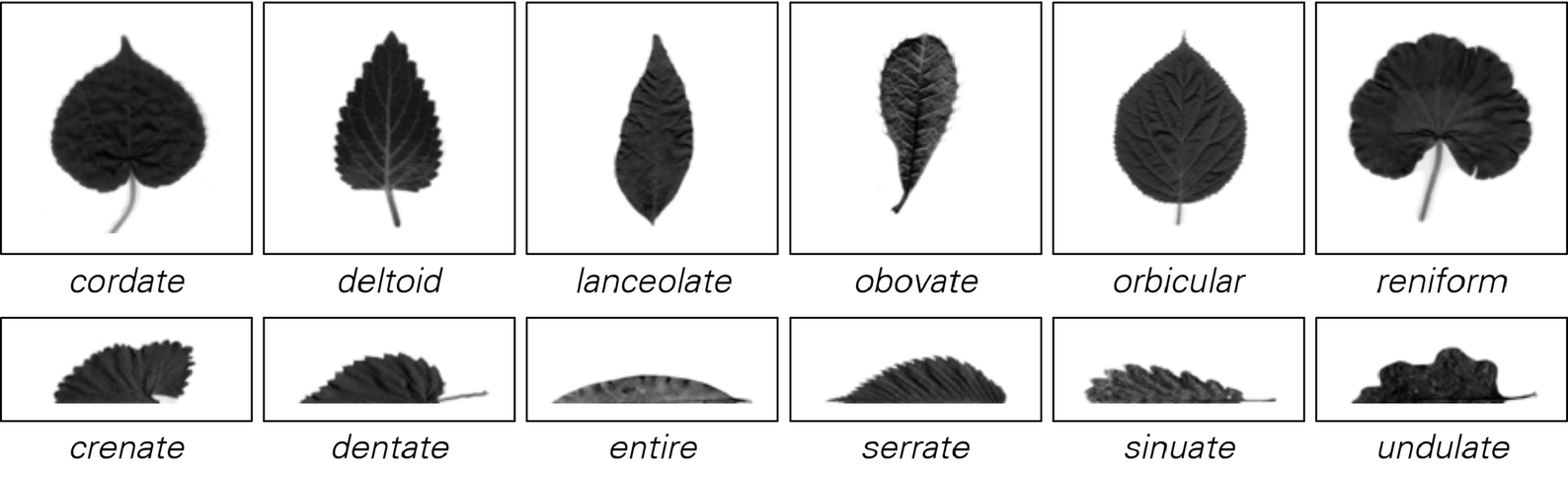 Leaf shapes image 1